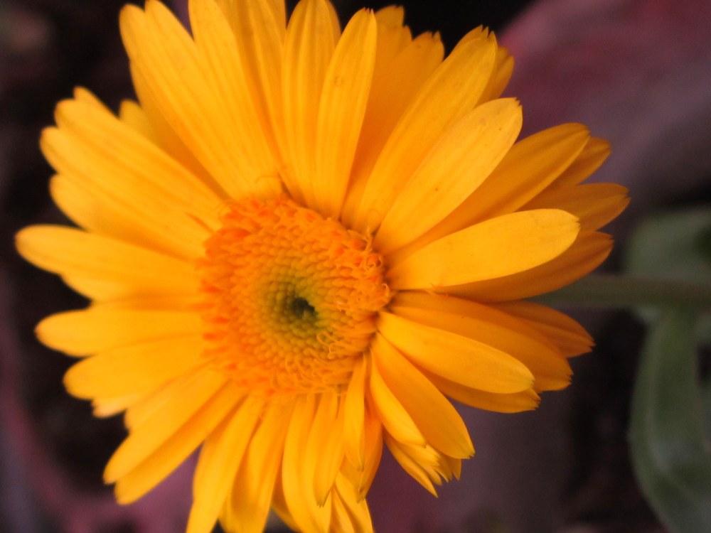 Orange calendula daisy