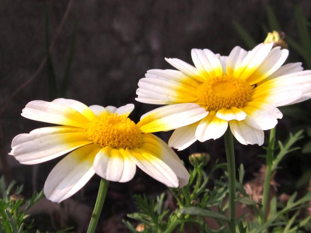 White Calendula Daisy