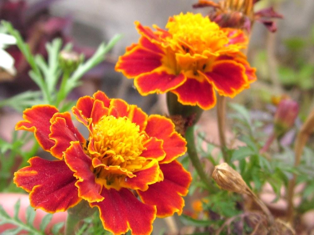 Saffron Marigold
