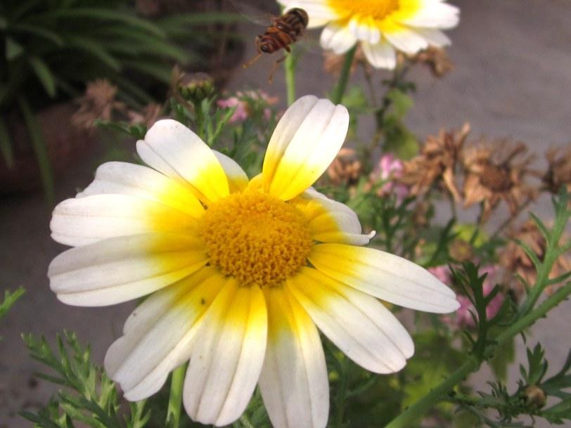 Hybrid white Calendula