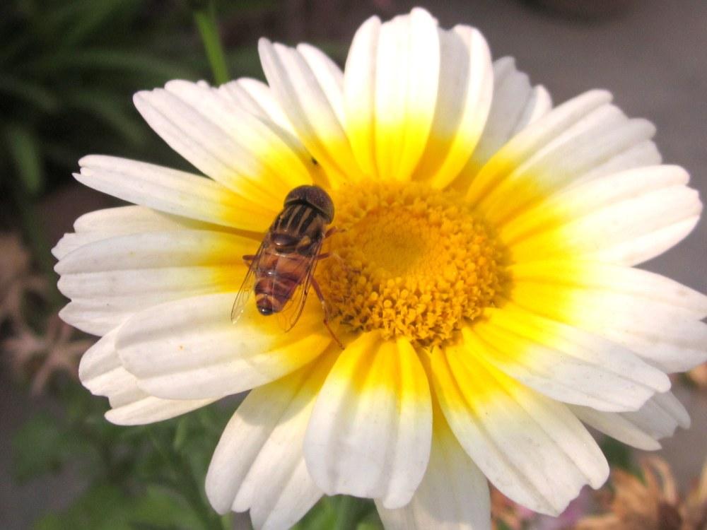 Hybrid white calendula with bee
