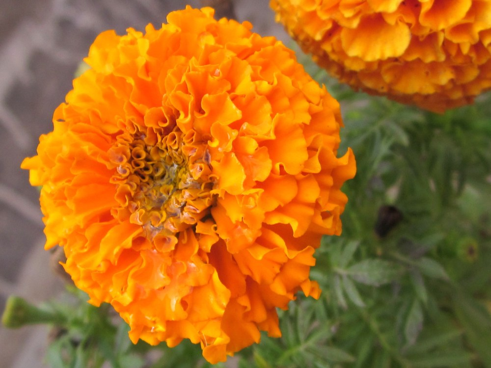Orange Marigold with drops of water