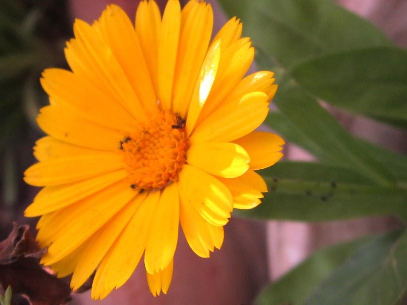 Sunny Orange Calendula