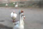 Dazzling White Daisies: Ducks-shots