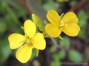 Mustard flowers Plant