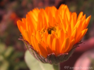 Budding Orange gerbera
