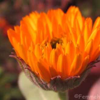 Budding Orange gerbera