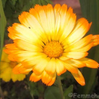 Hybrid double shaded calendula