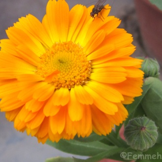 Double shaded orange-yellow gerbera