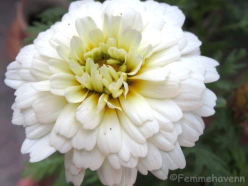 Hybrid yellow white Gerbera-Calendula