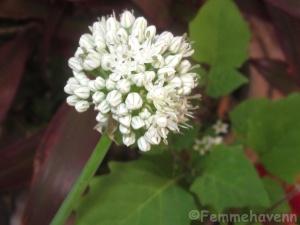 Onion Flower plant