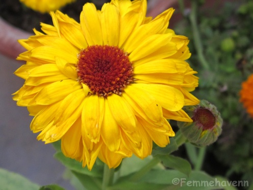 Yellow Gerbera (in wilting stage)