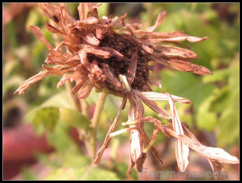 Dry petals falling, Calendula flower