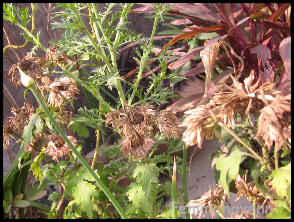 Dried Calendula group