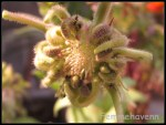Gerbera flower fallen, remnant floral head