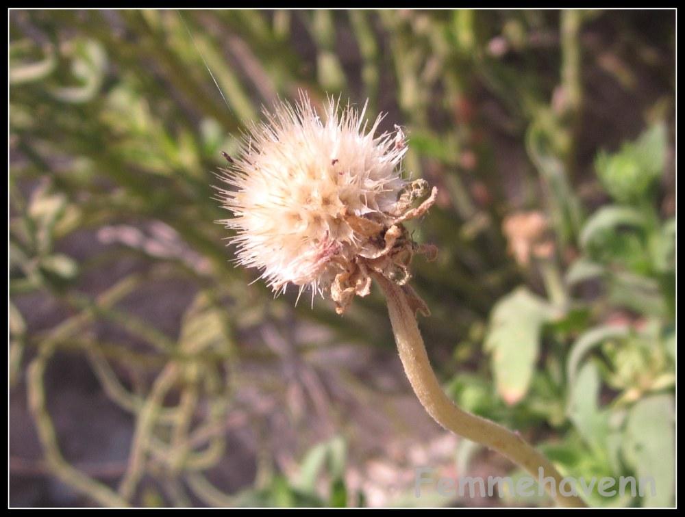 Fallen Summer  flower, remnant dried head