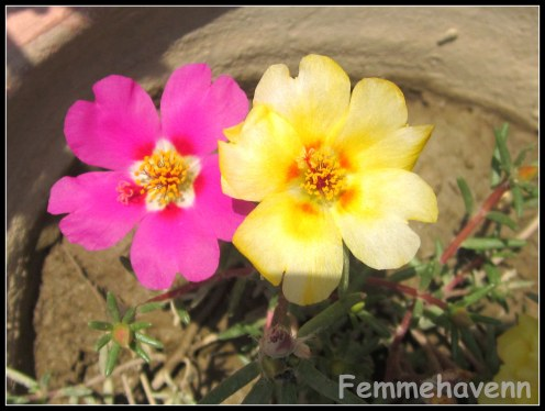 Pink and Yellow gul Dopahri
