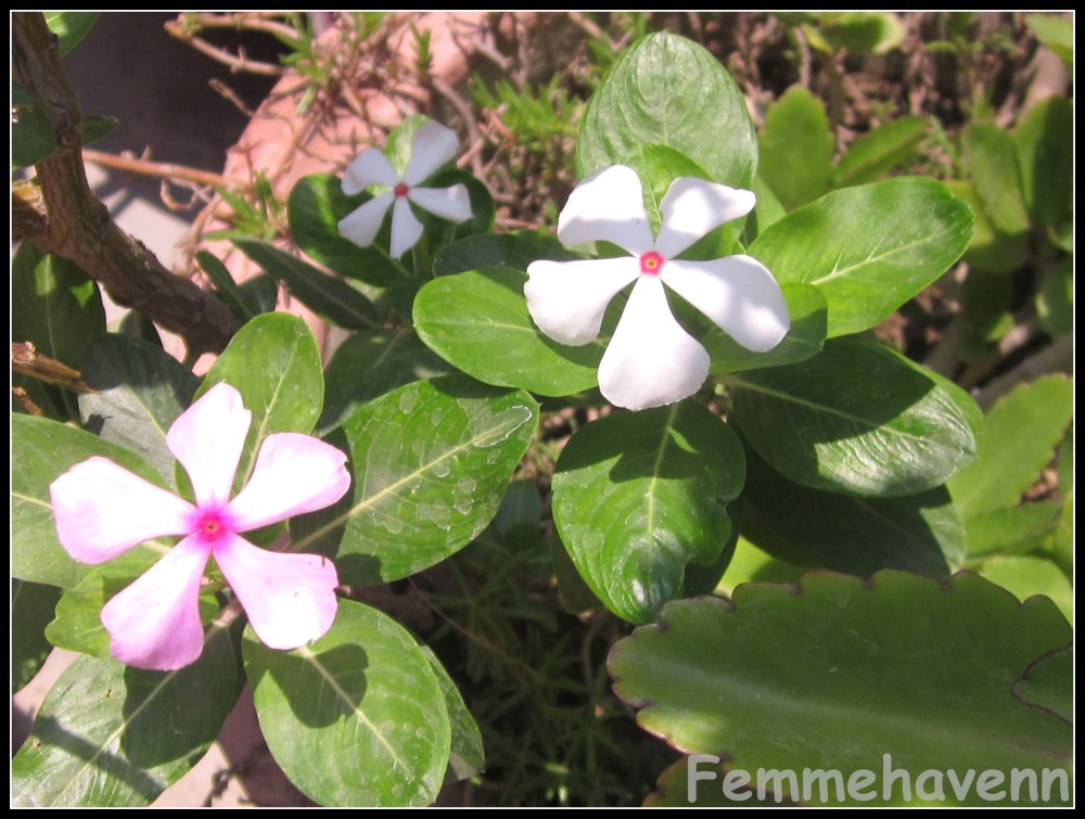 Catharanthus roseus(L) and Catharanthus white(R)