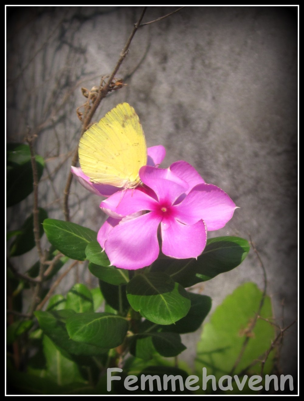 Yellow Butterfly on Catharanthus roseus
