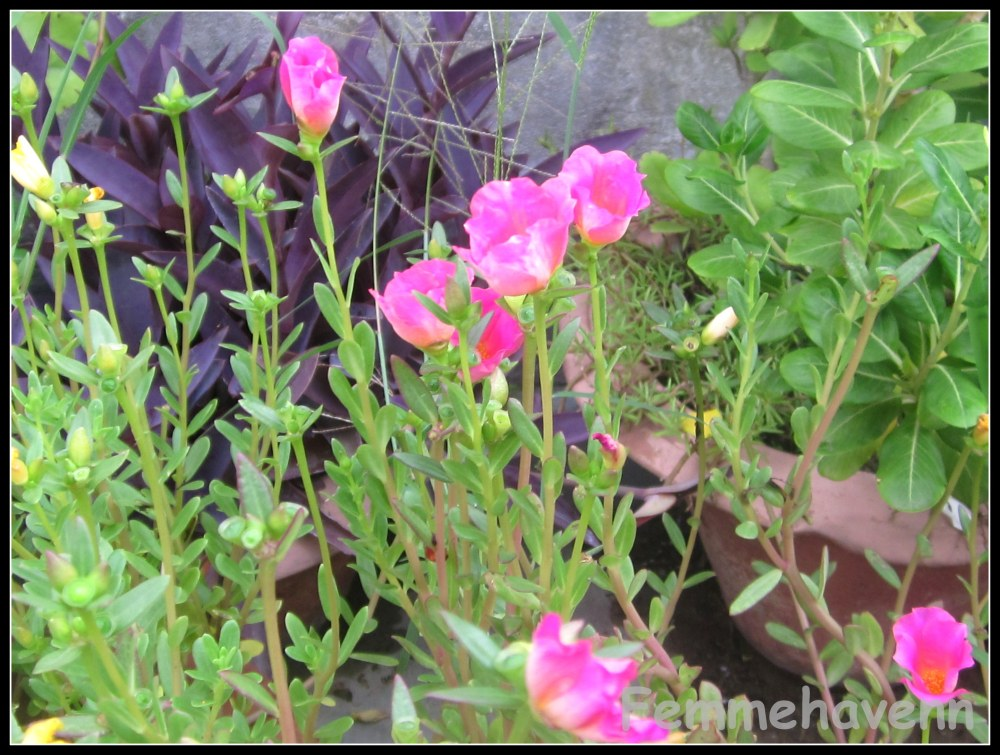 Similar to Buttercup flowers (Pink)