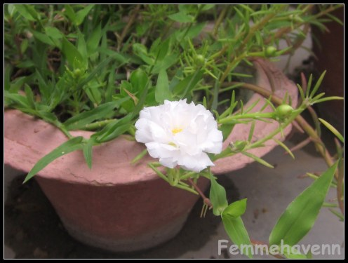 White Gul Dopahri (heavy Petaled)