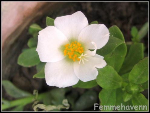 White Buttercup