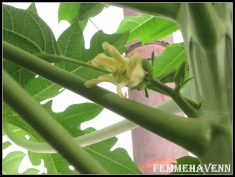 Papaya Flowers