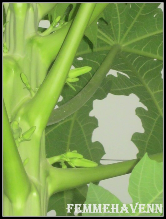 Papaya Buds