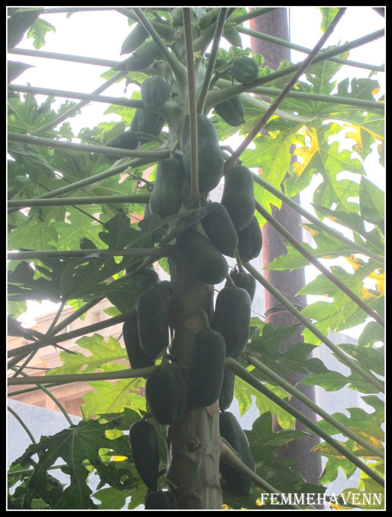 Papaya fruiting down to up
