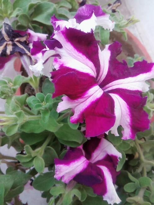 I call it Trumpet flower