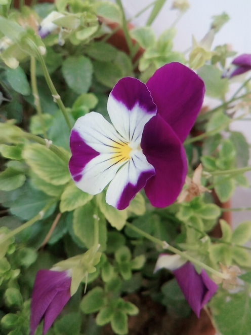 Purple White Pansy