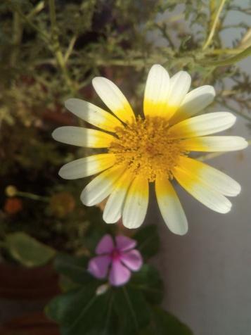 White yellow Daisy