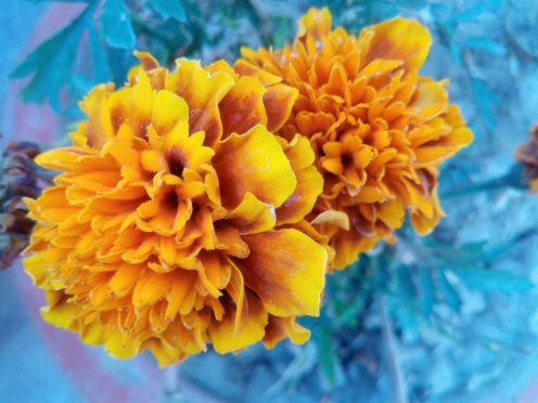 Orange Red Marigold